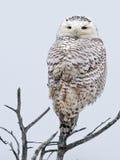 звеец prague сыча снежный Стоковые Фотографии RF