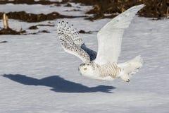 звеец prague сыча снежный Стоковые Изображения