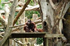 звеец singapore orangutan Стоковая Фотография RF