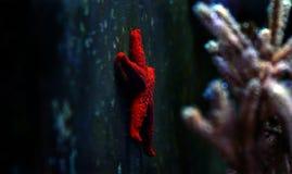 Звезда Красного Моря - milleporella Fromia Стоковые Фото