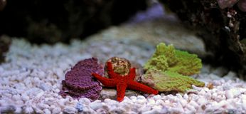 Звезда Красного Моря - milleporella Fromia Стоковое Фото
