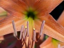 звезда лилии коралла Стоковые Изображения RF