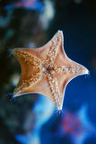 звезда моря Стоковые Фото