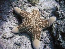 звезда моря granulatus choriaster Стоковая Фотография