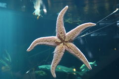 звезда рыб Стоковые Изображения RF