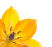 звезда цветка Вифлеема близкая вверх Стоковое Изображение