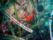 Звезда Красного Моря подводная в океане Стоковая Фотография