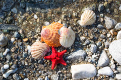 Звезда Красного Моря, раковины моря, каменный пляж, предпосылка чистой воды Стоковые Изображения