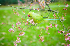 Звените necked длиннохвостый попугай есть цветки в дереве Стоковое Изображение RF