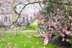 Звените necked длиннохвостый попугай есть цветки в дереве Стоковое Изображение