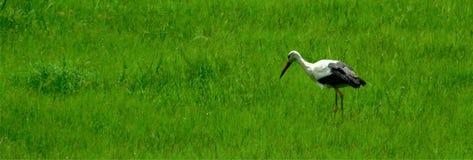 Звероловство белого аиста для кузнечиков Стоковые Изображения