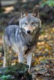Звероловство волка в лесе Стоковая Фотография