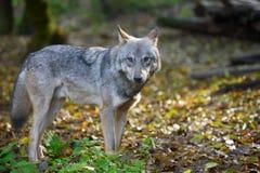 Звероловство волка в лесе Стоковое Изображение