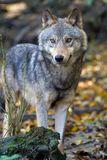 Звероловство волка в лесе Стоковые Фото