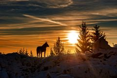 Звероловство в горе, зима волка стоковая фотография rf