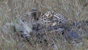 Звероловство гепарда в одичалом видеоматериал