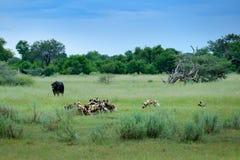 Звероловство дикой собаки в Ботсване, корове буйвола и икре с хищником Сцена живой природы от Африки, Moremi, перепада Okavango Ж Стоковая Фотография