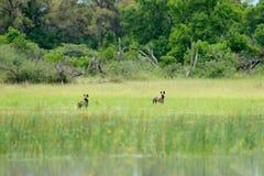 Звероловство дикой собаки в Ботсване, озере с желтым цветком Сцена живой природы от Африки, Moremi, перепада Okavango Животное по Стоковые Изображения