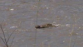 Звероловство крокодила в реке mara, Кении видеоматериал
