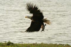 звероловство облыселого орла Стоковое фото RF