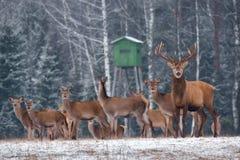 Звероловство оленей в зимнем времени Группа в составе благородный Cervus Elaphus оленей, приведенная рогачом, против фона башни и стоковая фотография