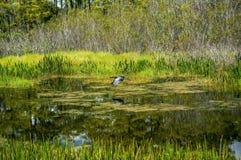 звероловство птицы в болоте Стоковое Изображение RF