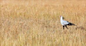 Звероловство птицы секретарши в саванне Стоковые Изображения