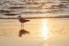 Звероловство птицы чайки на пляже моря Стоковые Фотографии RF