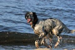 звероловство собаки пляжа Стоковые Фотографии RF