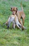 звероловство собаки Стоковые Фотографии RF