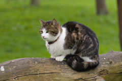 звероловство 2 котов Стоковая Фотография
