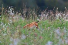 Звероловство Fox на луге Стоковая Фотография