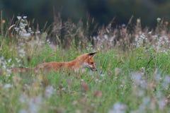 Звероловство Fox на луге Стоковые Фото