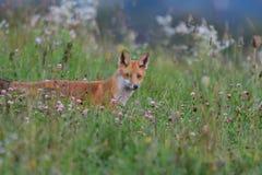 Звероловство Fox на луге Стоковые Изображения RF