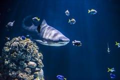 Звероловство акулы Стоковые Изображения RF
