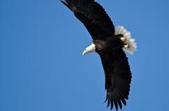 Звероловство белоголового орлана на крыле Стоковые Фото