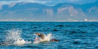 Звероловство большой белой акулы Стоковая Фотография RF