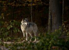 Звероловство волка тимберса Стоковое Изображение RF