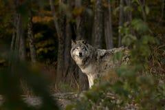 Звероловство волка тимберса Стоковое фото RF