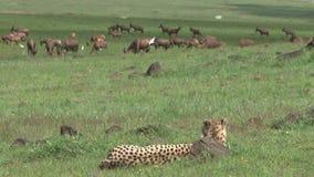 Звероловство гепарда в одичалом сток-видео