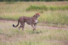 Звероловство гепарда на masai mara Стоковое Изображение