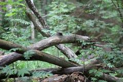 Звероловство гриба в одичалом лесе в утре Стоковое фото RF