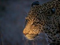 Звероловство леопарда Стоковая Фотография