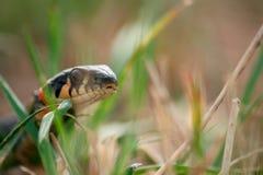 Звероловство змейки ужа в зеленой траве на летнем дне Стоковая Фотография