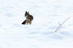 Звероловство койота в снеге Стоковые Фотографии RF