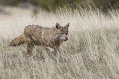 Звероловство койота для еды в прерии Стоковые Изображения RF