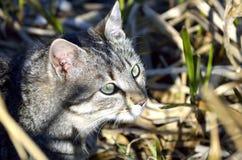 Звероловство кота в кустах Стоковая Фотография