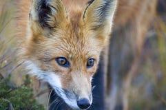 Звероловство красного Fox Стоковые Фото