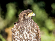 Звероловство крупного плана хищной птицы и еда искать в лесе Стоковое Изображение