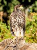 Звероловство крупного плана хищной птицы и еда искать в лесе Стоковые Изображения